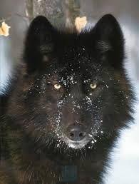 wolf husky mix - Google Search