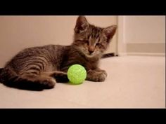 Oskar, a kitten born without eyes, gets his first toy -- a ball with a bell inside. Sooooo cute! <3