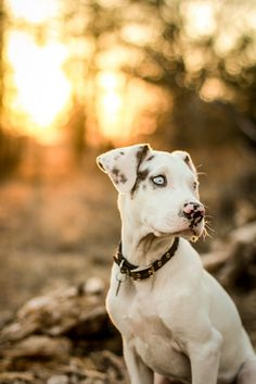 Beautiful. great danes, hunting dogs, blue eye, baby dogs, puppi, baby animals, baby cats, baby blues, eyes