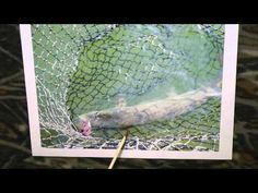 #Fishing Trophy Muskies? CPR Catch Photo and Release is Best Ever when in #Thehunt for #Big Fish Please Subscribe and enjoy my videos.   http://www.youtube.com/user/willcfish/videos?sort=p=0