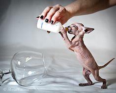 A tiny thirsty baby. #hairless #sphynx #cat #kitten