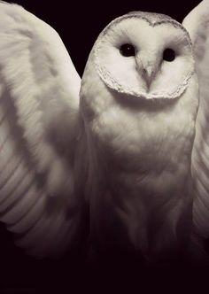 White barn owl ready to go
