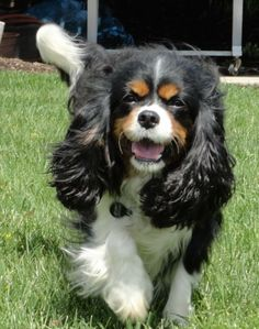 Meet Maizy a Petfinder adoptable Cavalier King Charles Spaniel Dog | Wooster, OH | Maizy is a 5 year old little Cav.  She came to us from a local puppy mill where she was no longer...