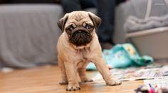 Little #pug! #cute #adorable #dog #pet