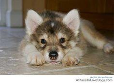 Siberian Husky, German Shepherd, Alaskan Malamute mix