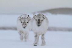Who knew baby reindeer were so cute?