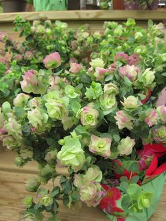 Ornamental Oregano garden grow, plant, food recipes, hang basket, herb, ornament oregano, flower, hanging baskets, window boxes