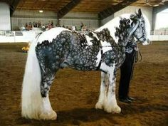 Tobiano snow flake dapple silver gypsy vanner horse