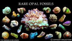 opalized fossils...