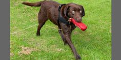 Amazing Blind Dog knows how to fetch, wins competition. Jack, an inspiring Labrador, won the water category of a U.K. competion after retrieving objects thrown into a pond -- and Oh yeah, he's completely blind. Amazing!  (© Matt Stewart/Caters)