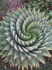 Aloe polyphylla, or spiral aloe - drought tolerant,