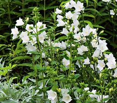 Campanula persicifolia Grandiflora Alba (bell flower); full or part sun