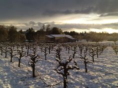 Snow in the vineyards is very unusual but beautiful.
