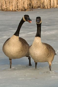 Canada geese mate for life.