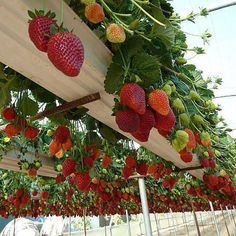 grow strawberries in a gutter - Google Search