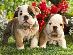 English Bulldog puppies - Nothing cuter!