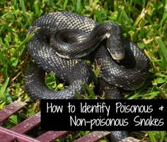 Learn how to identify venomous and non-venomous snakes.  A beautiful black snake lounging in the grass. Flickr image by Gary Garcia
