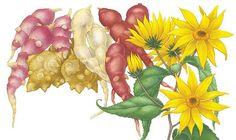 All About Growing Jerusalem Artichokes - Organic Gardening - MOTHER EARTH NEWS