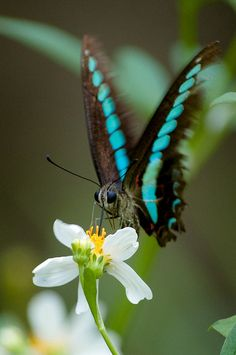 Graphium sarpedon connectens butterfly