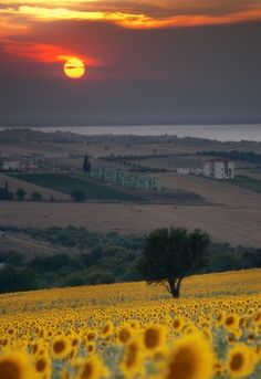 Tuscany's rolling hills of sunflowers...