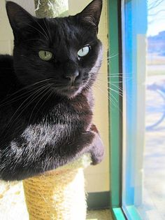 """""""Ms. Black"""" *Adopt for $30* Female (spayed)Domestic Shorthair, Black~7 years oldMs. Black is very calm and laid back. She has beautiful pale green eyes and her coat is sleek and shiny with a gorgeous reddish brown hue in the sunlight. She truly enjoys lap time and..."""