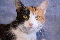 Paisley is a lovely calico girl who wandered off and ended up with us as a stray. Shes 1 year old, and were sure she would like to get back to the business of being an A-1 lap cat!  Visit Paisley in the Cat Room at the Dearborn Animal Shelter, http://dearbornanimals.org/