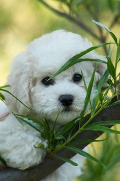 Adorable!!! puppies, anim, dogs, pet, bichon frise, doggi, sweet face, bichons, friend