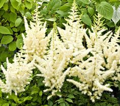 "Common Name: Astilbe  Hardiness Zone: 4-8 S / 4-9 W  Height: 26""+  Exposure: Part Shade  Blooms In: July  Spacing: 24-30"""