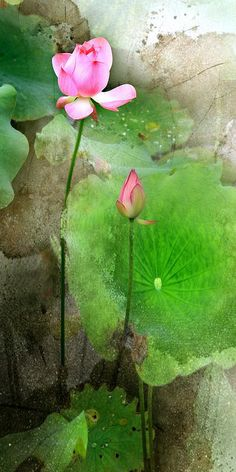 lotus watercolor  dk artist but well done