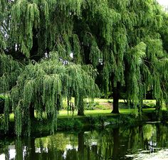 Reading a great book under the weeping willows