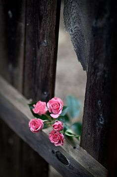 Roses peeking through the fence.