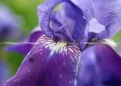 Purple Iris http://www.kkhphotos.com/p785193038/h31baaa4d#h31baaa4d #photography #purple #iris #flowers #floralphotography