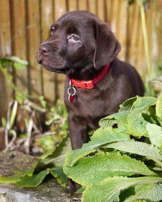 Betsy the Labrador Retriever