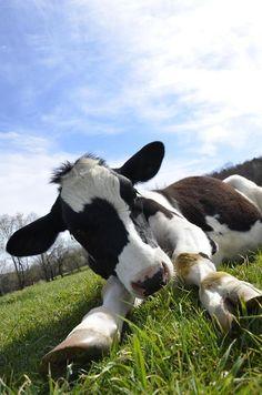 Moo cow :)