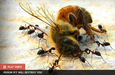 25,000 Dead Bees in Target Store Parking Lot: The blooming linden trees in the Target parking lot had been sprayed with Safari, a pesticide produced by Valent Professional Products, to protect the plants from aphid attack. However, the active ingredient in Safari was the chemical dinotefuran, an insect-killing poison chemically similar to nicotine. These nicotine-like pesticides, known as neonicotinoids kill bees, along with a wide range of other insects.  - Discovery News