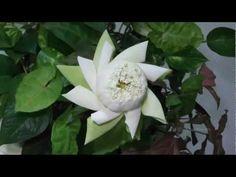 Art of lotus petal folding. - ศิลปะการพับกลีบบัว