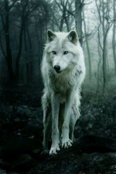 White wolf...mysterious beauty.