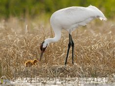 whooping crane and chick.