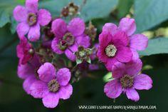 Thimbleberries - Vermont flowering berries