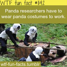 Panda researchers costumes  — (animales facts)  MORE OF WTF-FUN-FACTS are coming HERE  funny and weird facts ONLY