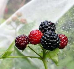 Bird Control in the Garden, how to save some of your harvest for you.....