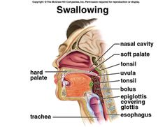 The stages of normal swallowing