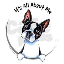 Boston Terrier -- It's all about me.....