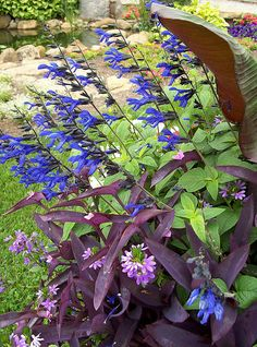 salvia - this is a hearty plant