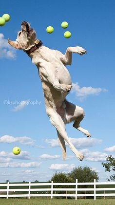 Another leaping labrador.
