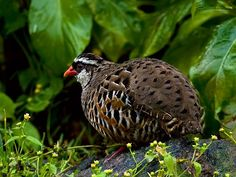 The Painted Bush Quail (Perdicula erythrorhyncha) is found in the hill forests of India. They move in small coveys on hillsides and are distinguished by their red bills and legs. They have a liquid alarm call and small groups will run in single file along paths before taking flight when flushed. They are pugnacious and trappers are known to use decoy males to capture others. The call of the breeding male is a kirkee..kirkee and other calls include soft whistles which rises and falls in pitch.