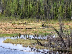 Moose near Tok, Alaska