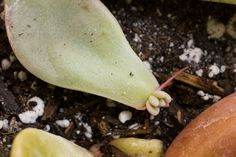 Update on Propagating Succulents from Leaves Blog Post  -  Succulent New Growth Photos