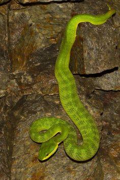 Bamboo Viper / White Lip Tree #Viper   Trimeresurus albolabris. #snake #reptile
