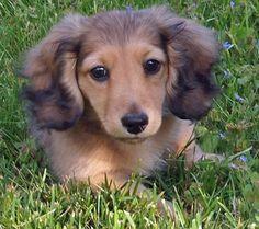 Dachsund puppy.